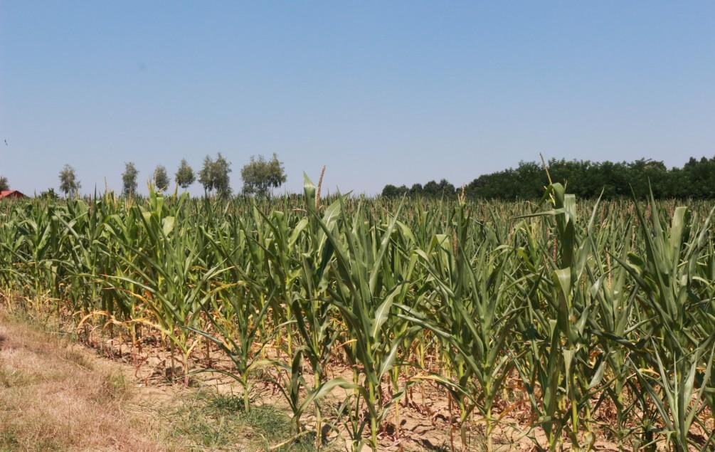 POSAVINA Suša zaprijetila usjevima, ugroženi kukuruz, povrće i voće