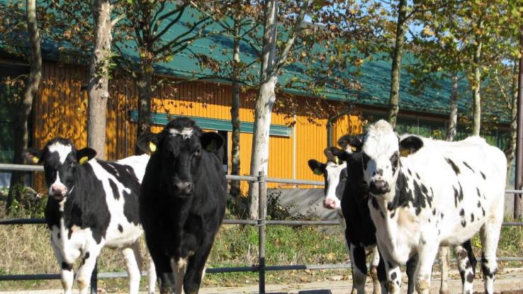 Može se reći da krave na farmi uživaju