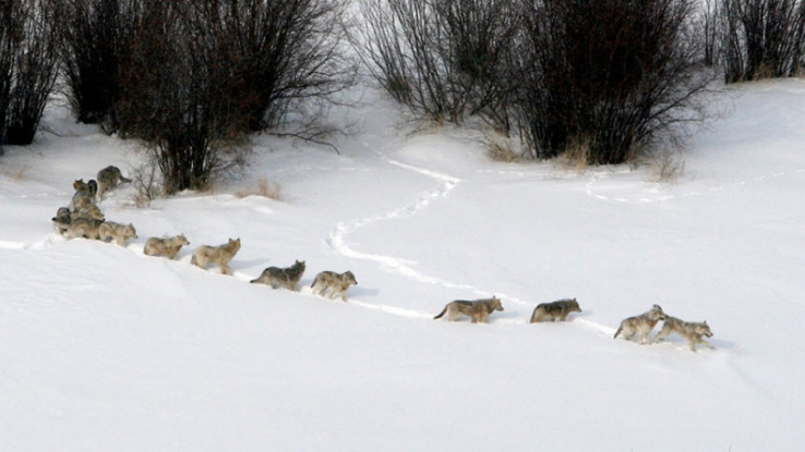 Vukovi ne prezaju kada su gladni