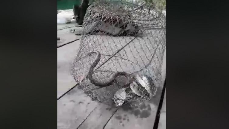 Zmije napale ribe uhvaćene u mrežu