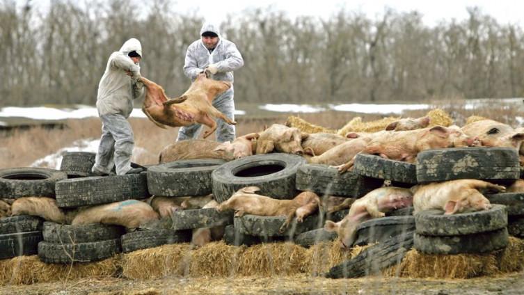 Bolest afrička kuga pravi velike štete u sektoru stočarstva