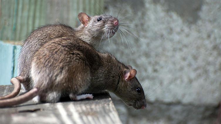 Virus se prenosi na ljude isključivo sa pacova i miševa