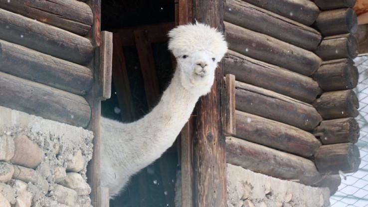 Narednih dana ukusne poslastice pripremat će se za lame, berberske ovce - Avaz, Dnevni avaz, avaz.ba