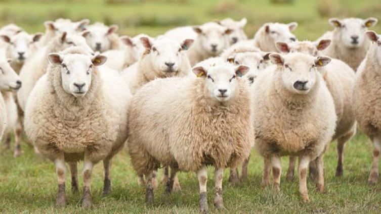Roboti će paziti i na ovce