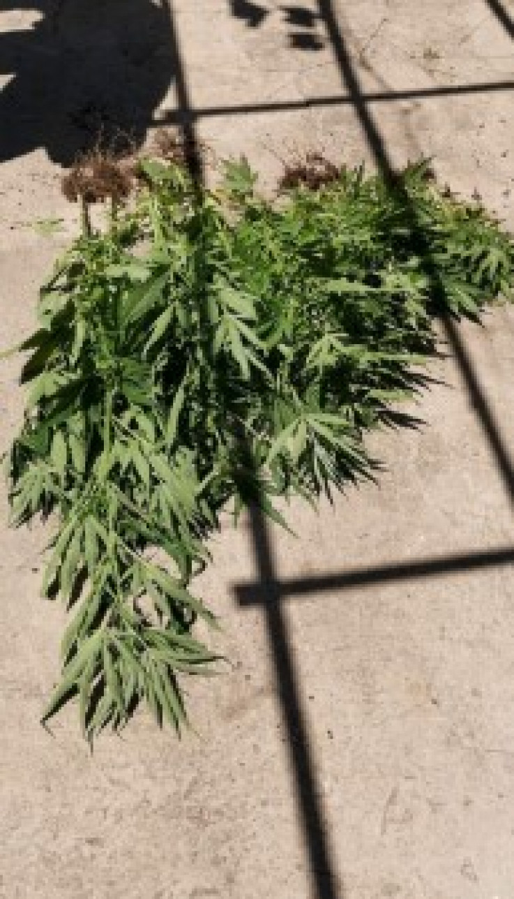 Oduzeta i marihuana