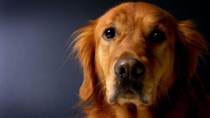 Psi bi mogli da pronjuškaju zgrade koje su ispražnjene zbog korone, a zatim dezinfikovane