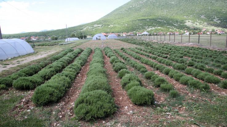 Zasadi lavande i drugog ljekobilja
