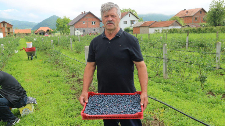 Nazif Čivić s ubranim borovnicama - Avaz, Dnevni avaz, avaz.ba