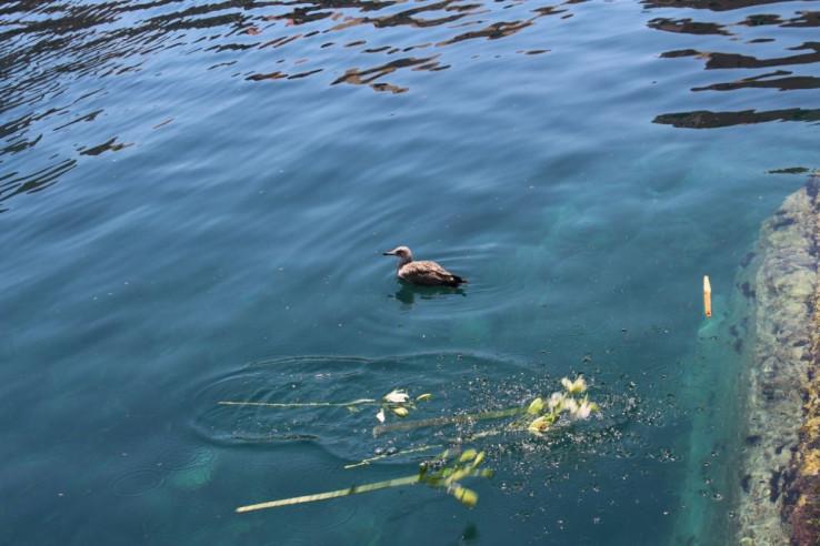 U more su u dubrovačkoj luci u znak pijeteta prema svim žrtvama bačeni ljiljani
