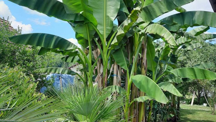 Drvored stabala banana