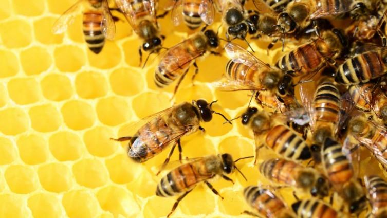 Beč ima 456 različitih vrsta divljih pčela