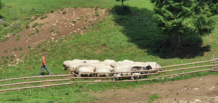 Pastir s ovcama na Vlašiću