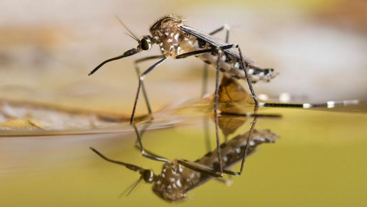 U prirodu puštaju 750 miliona genetski modifikovanih komaraca