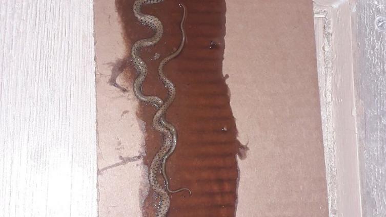 U kući pronašli 17 zmija