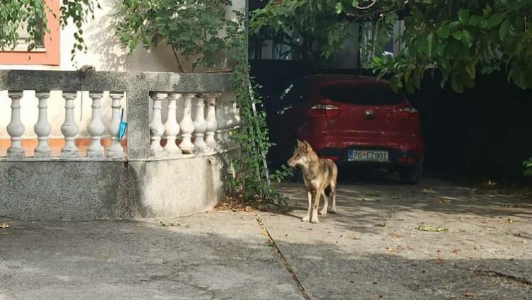 Vuk u Podgorici