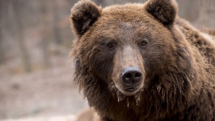 Medvjedi su im česta pojava