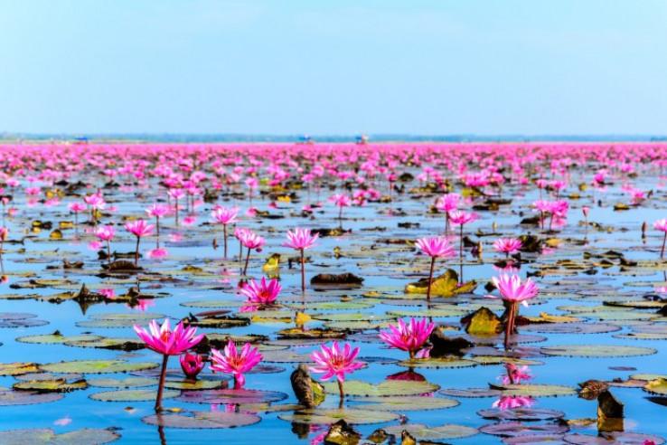 Jezero crvenih lotosa koje oduzima dah