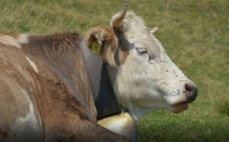Crnogorka kupila kravu kriptovalutom