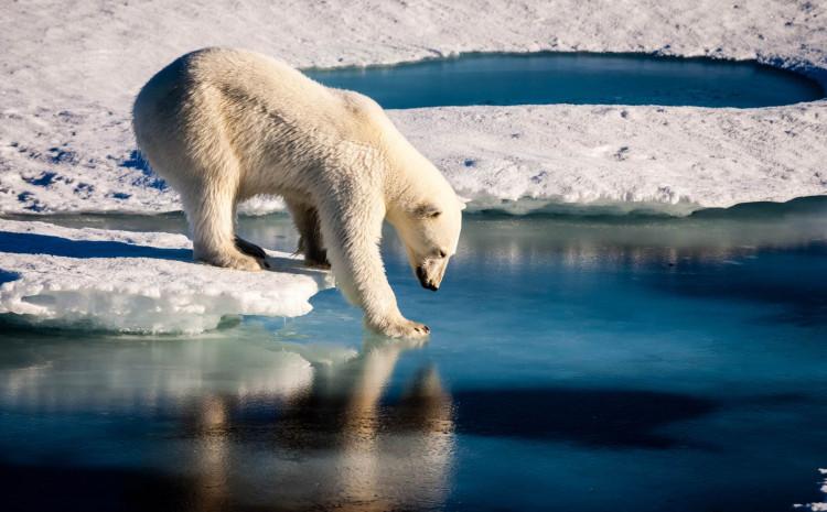 Zbog klimatskih promjena polarni medvjedi izumiru