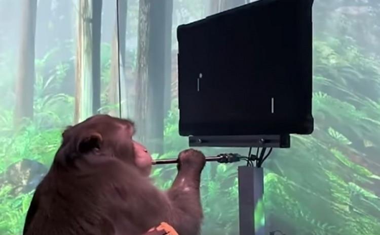 Majmun je uspio da odigra video igricu Pong samo svojim mozgom