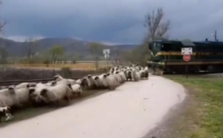 U videu se ne vidi da li je neka od ovaca nastradala