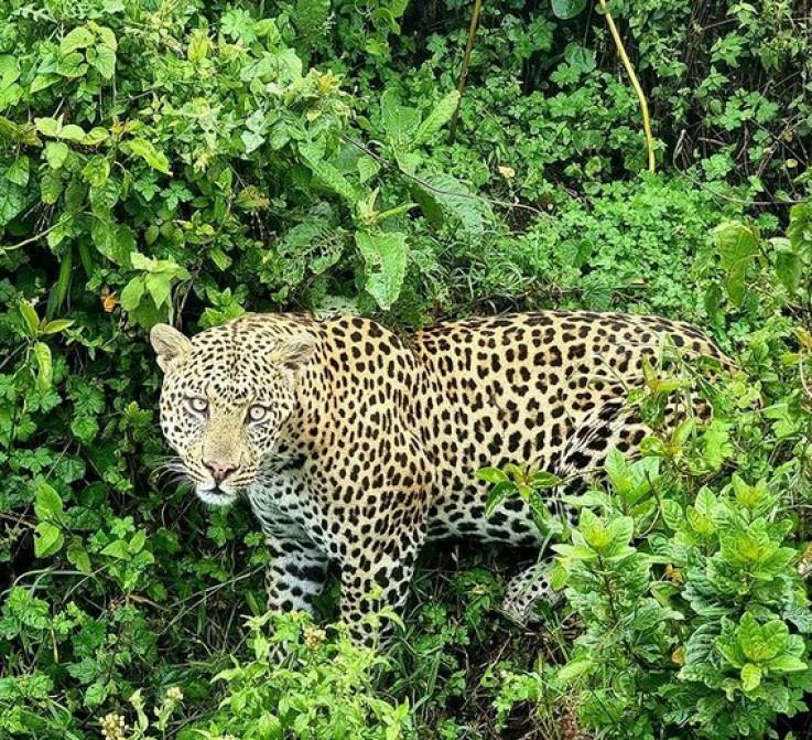 Oči u oči s leopardom