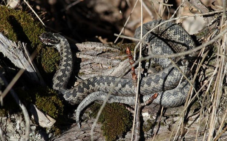 BiH nedostaje seruma protiv zmijskog otrova