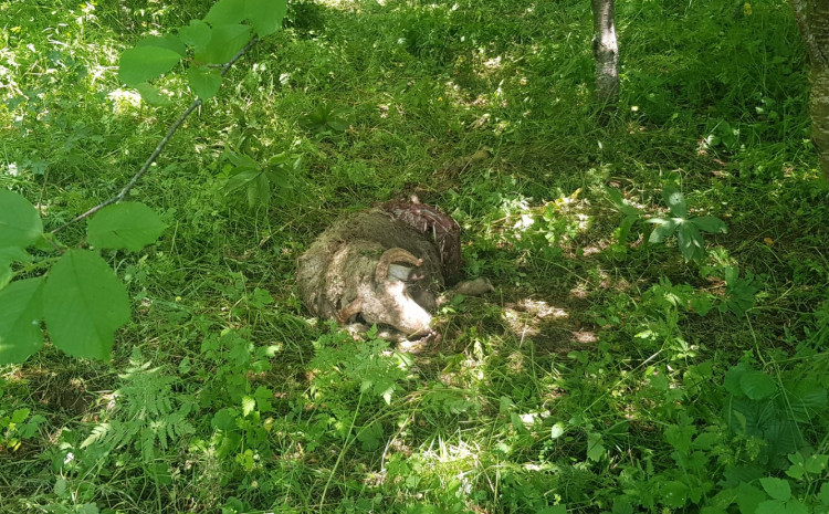 Goražde: Čopor vukova usmrtio stado od 50 ovaca