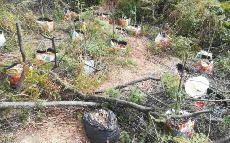 Pronađene stabljike indijske konoplje