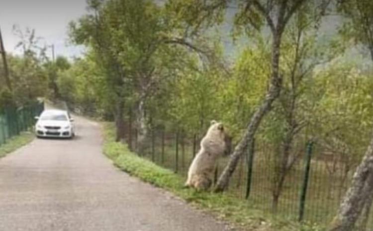Medvjed jede šljive